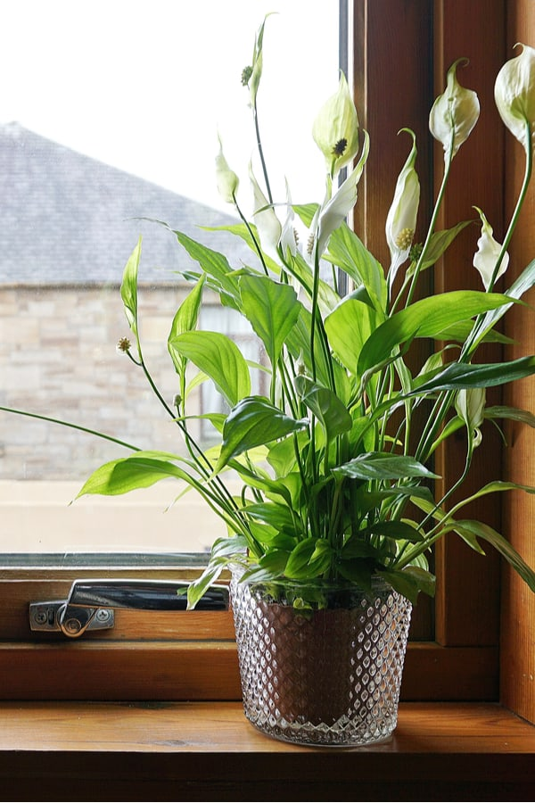 Bathrooms Peace lily