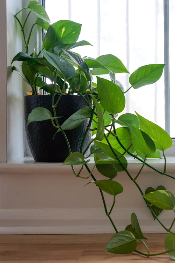 Philodendron bathroom