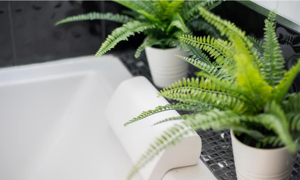 bathroom Fern